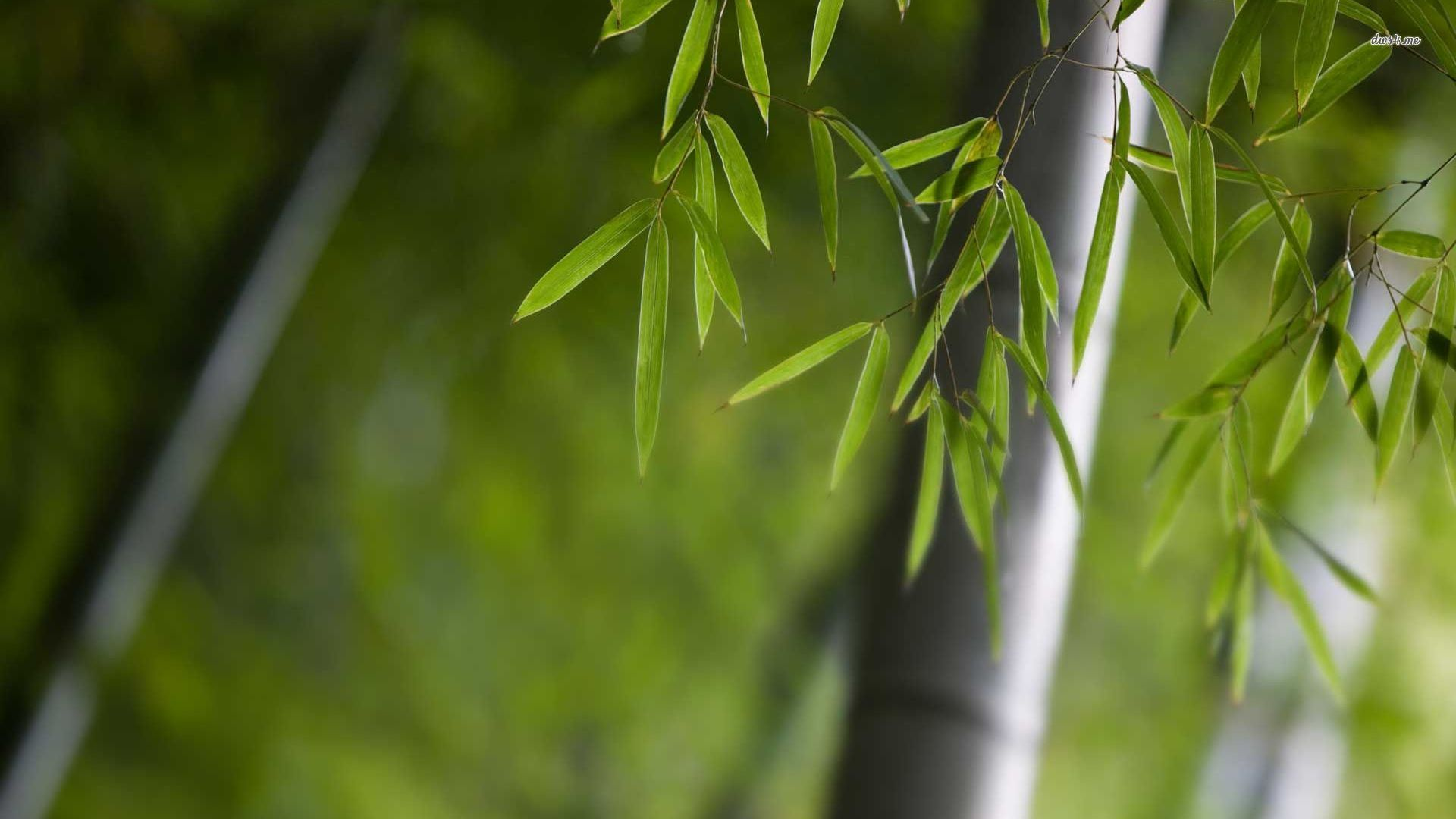bamboo plant picture