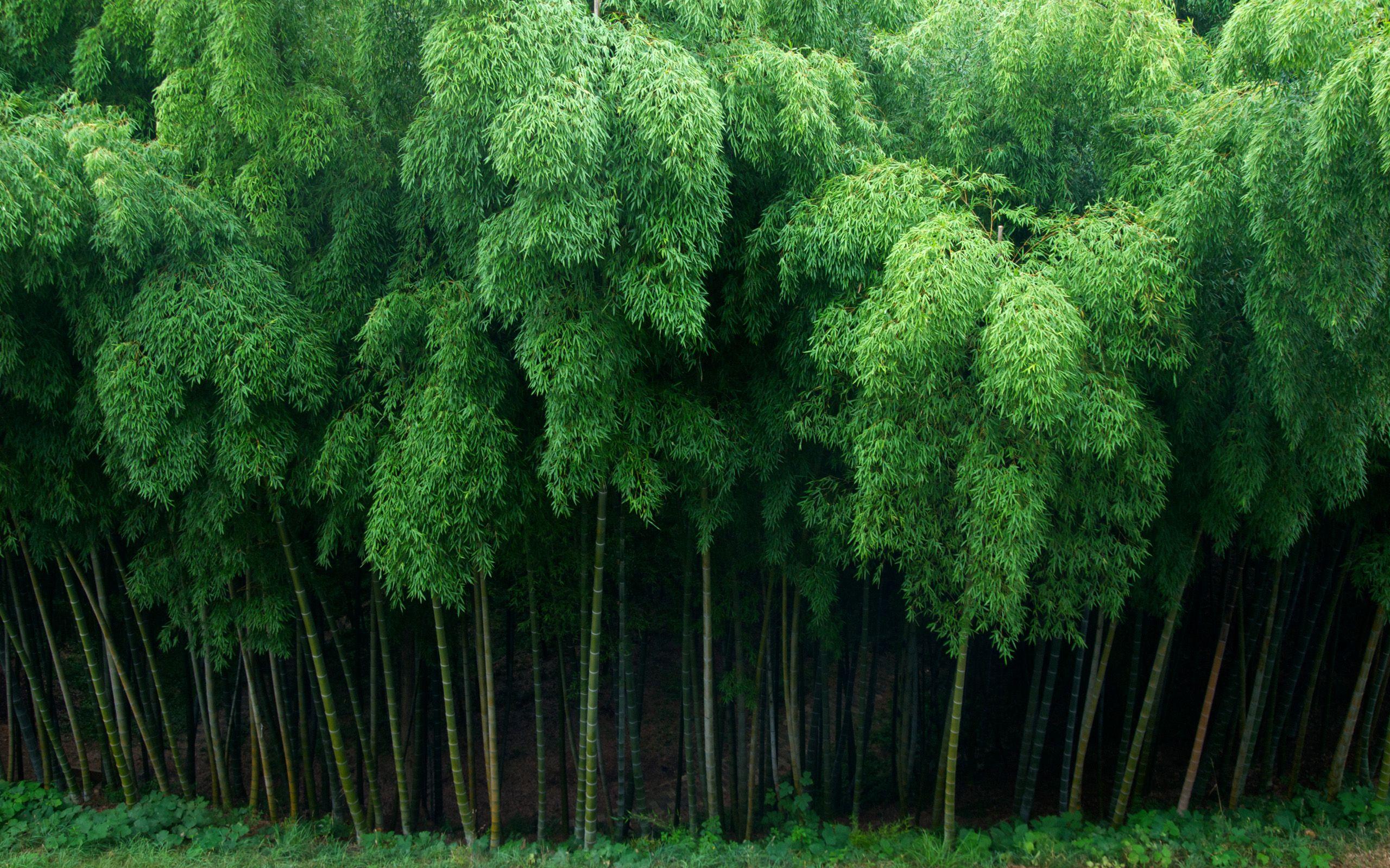 bamboo background images