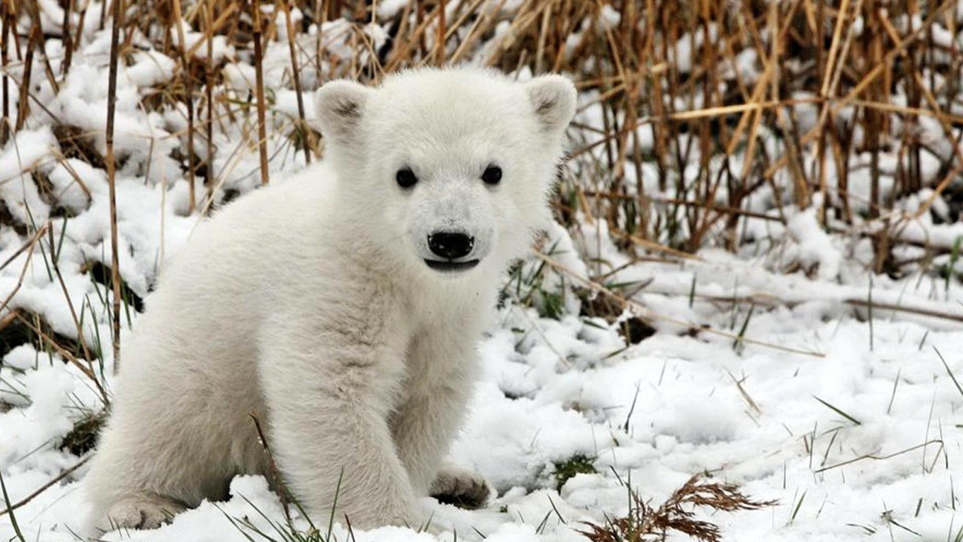 white bear wallpaper