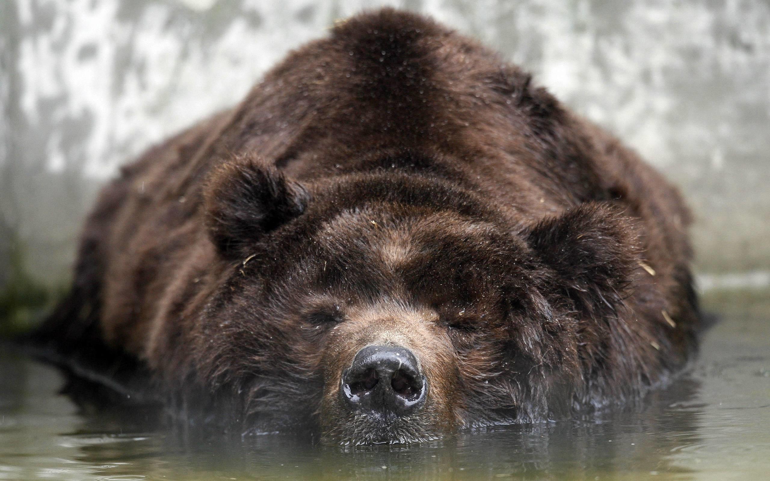 hd bear