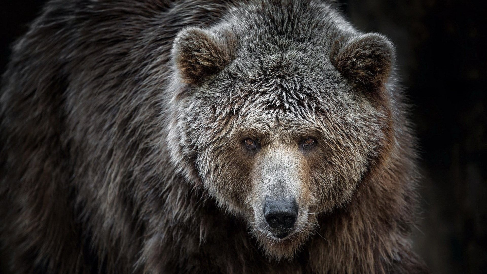 brown bear wallpaper
