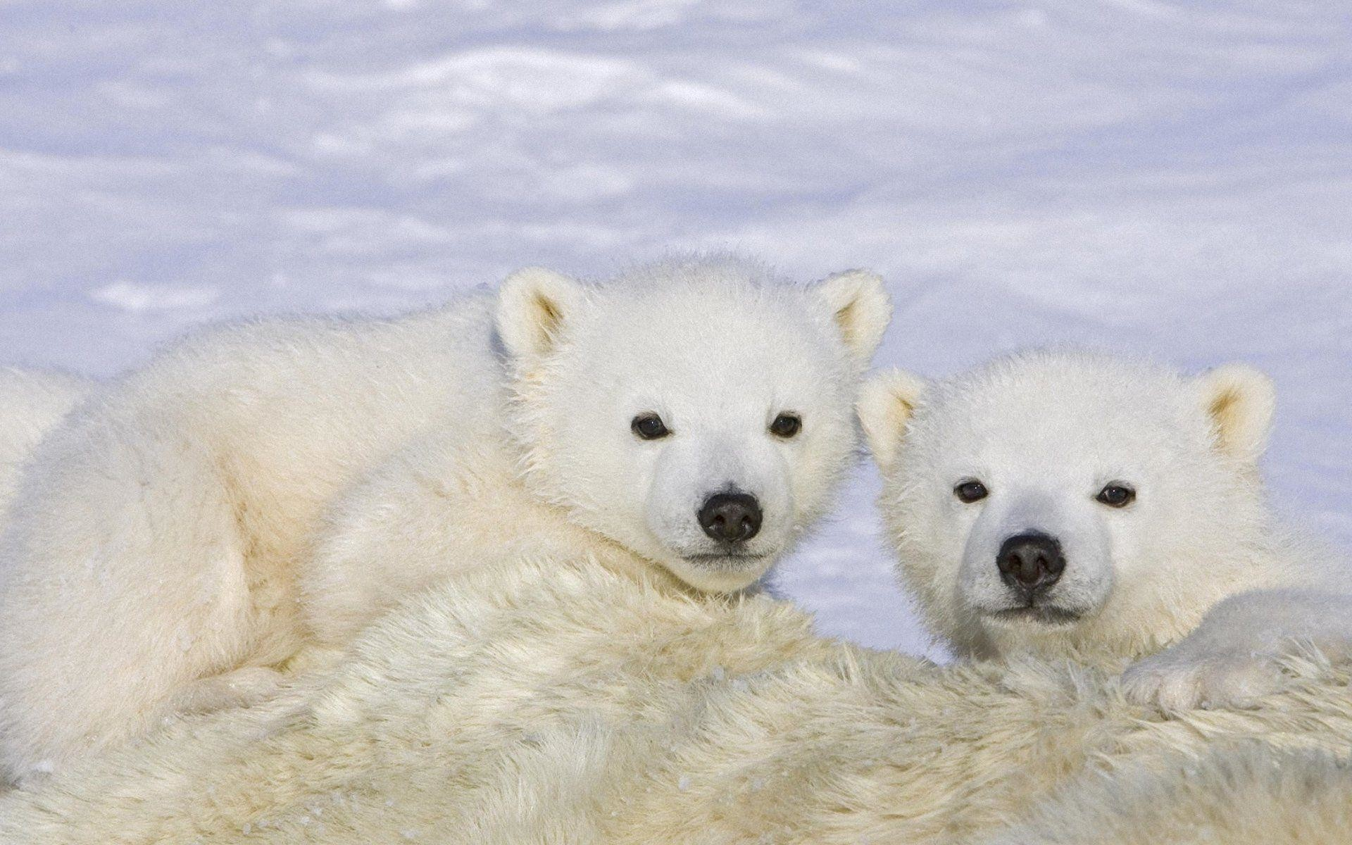 baby polar bears wallpaper