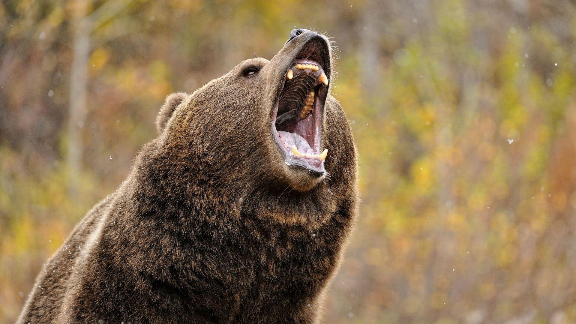 black bear hd