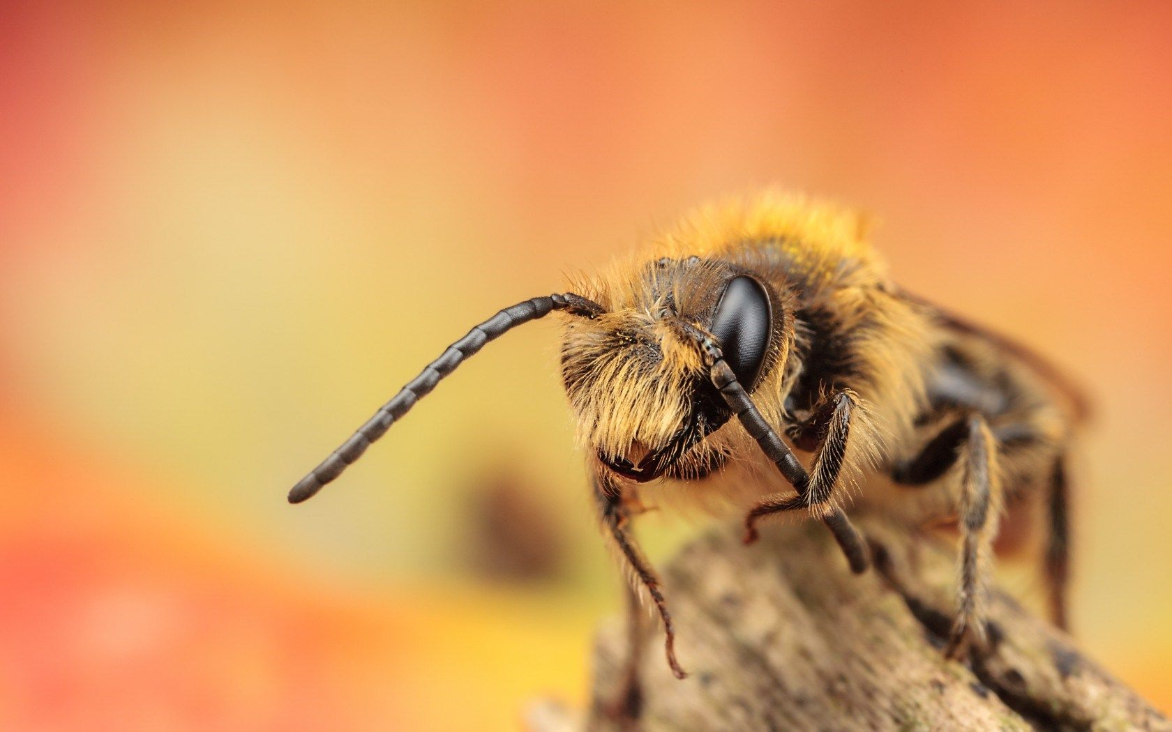 show me a picture of a bee