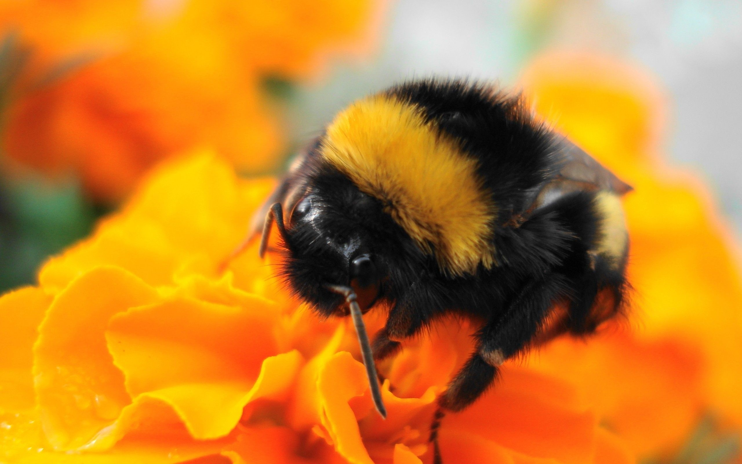 honey bee pictures