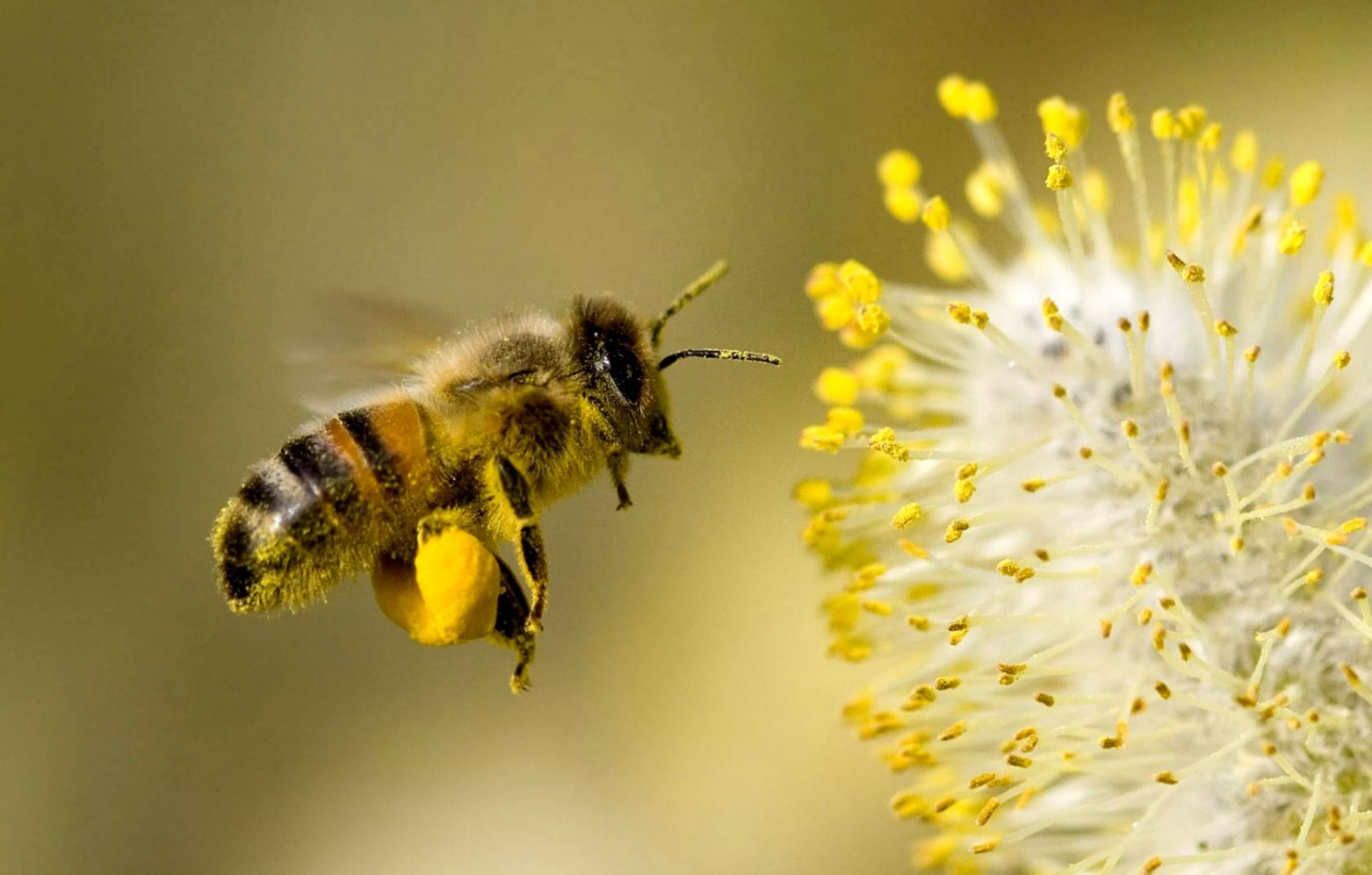 honey bee pictures images