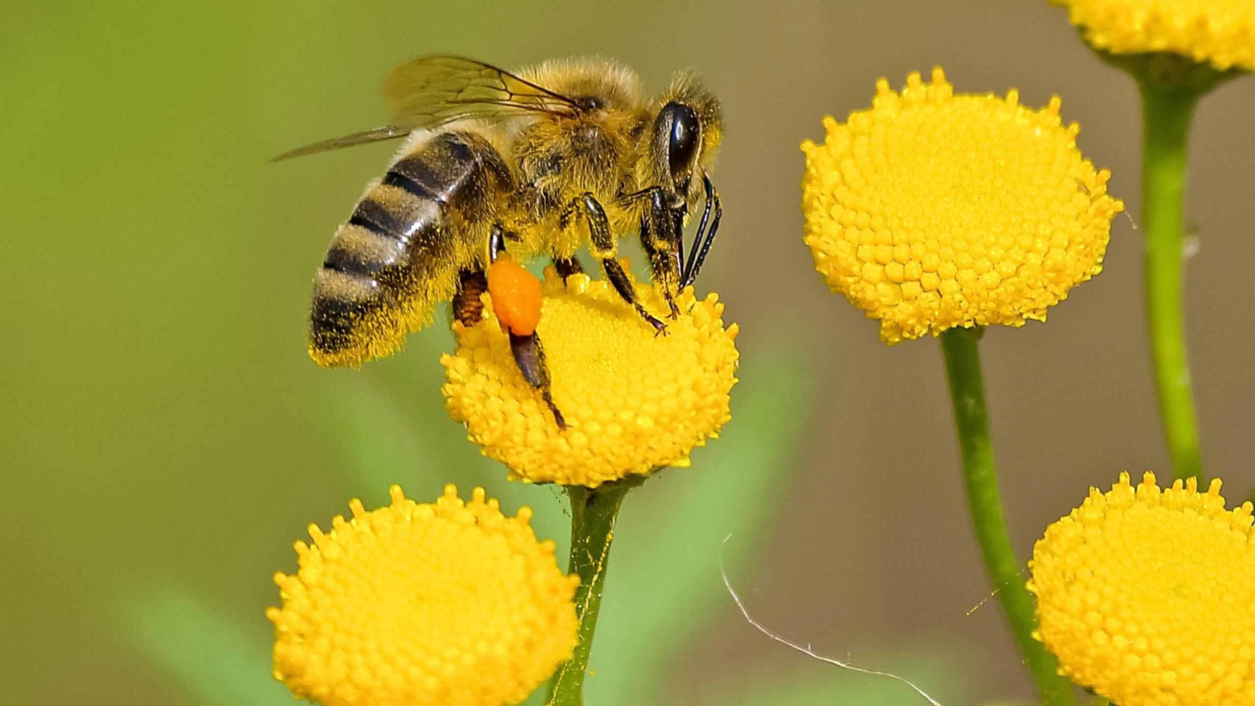 free honey bee images