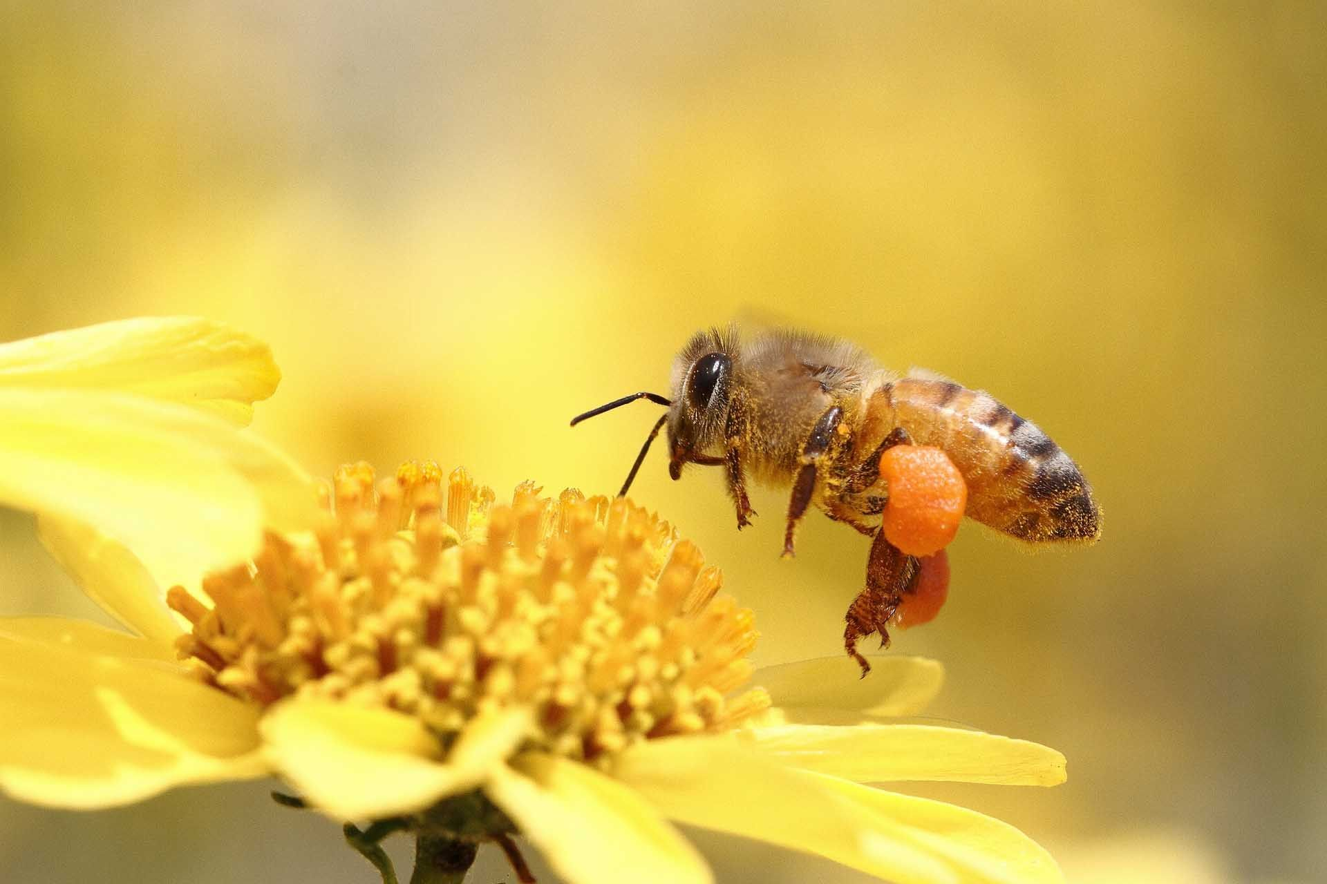 Bee Wallpaper 4k