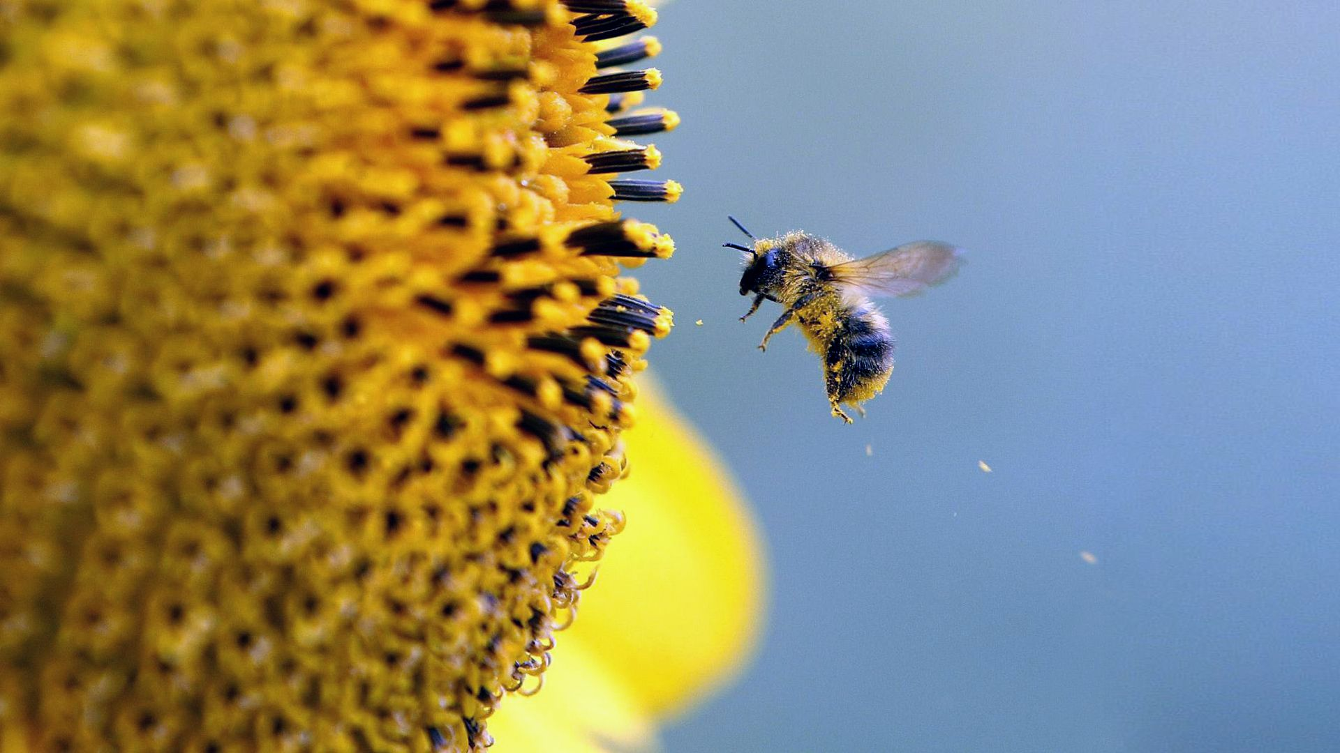 free bee pictures