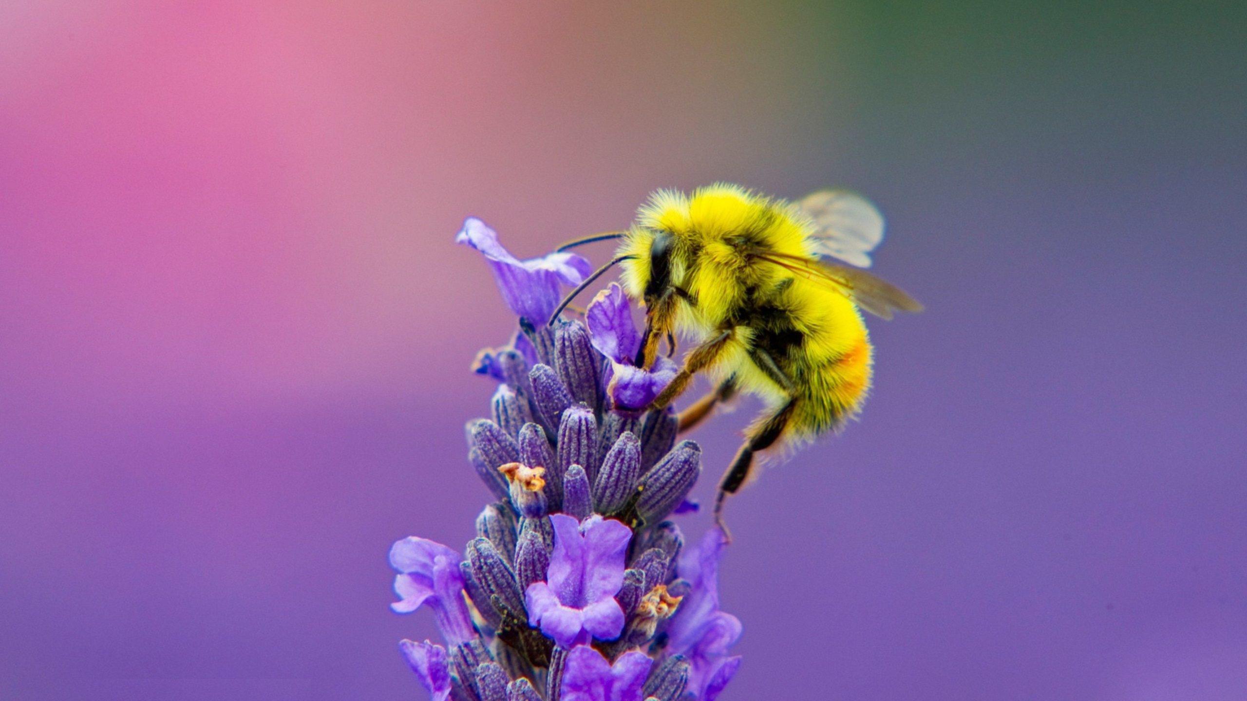 photos of honey bee