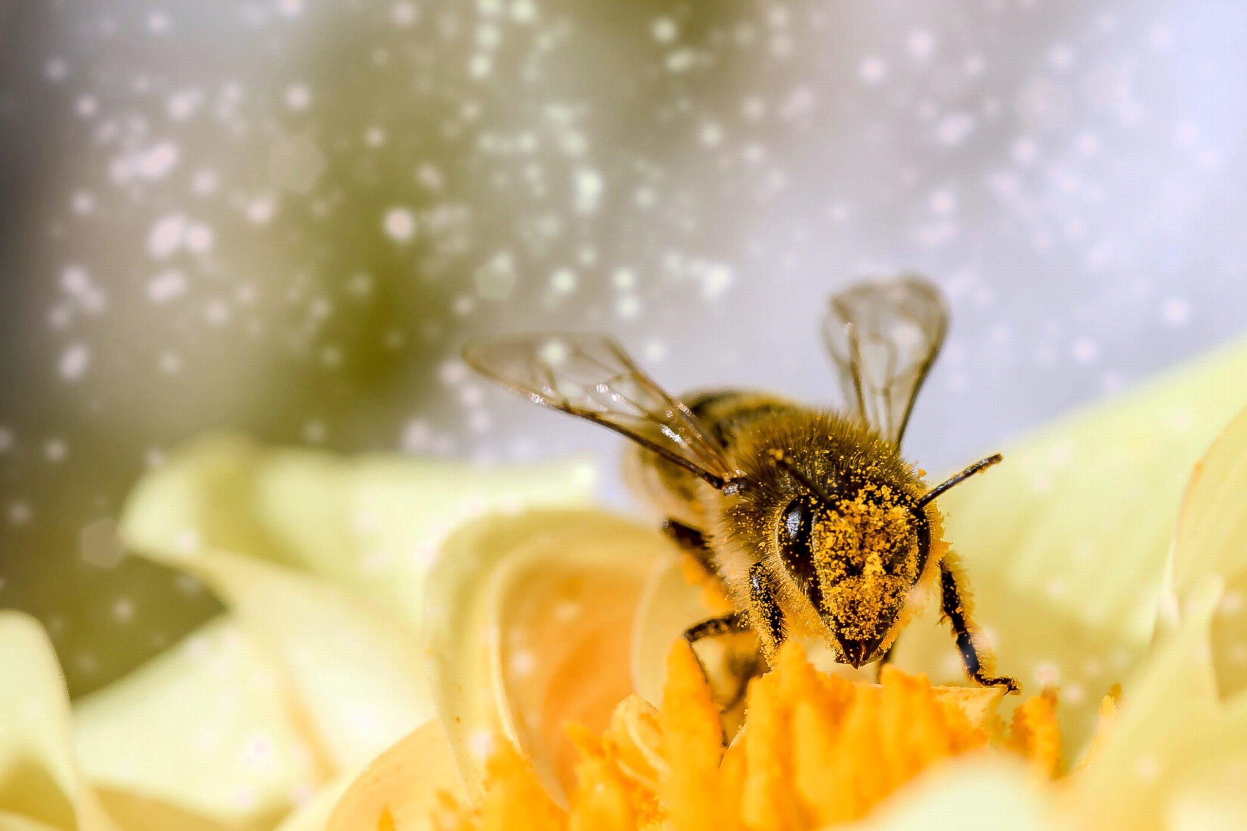 pics of honey bee