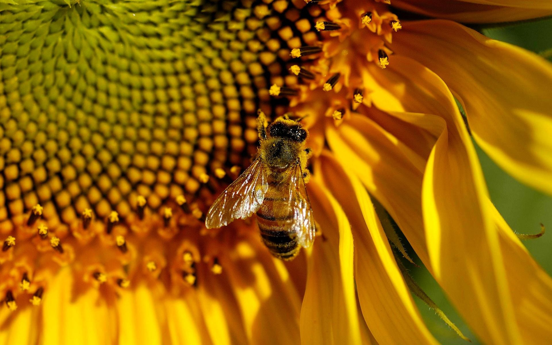 bee download free wallpapers