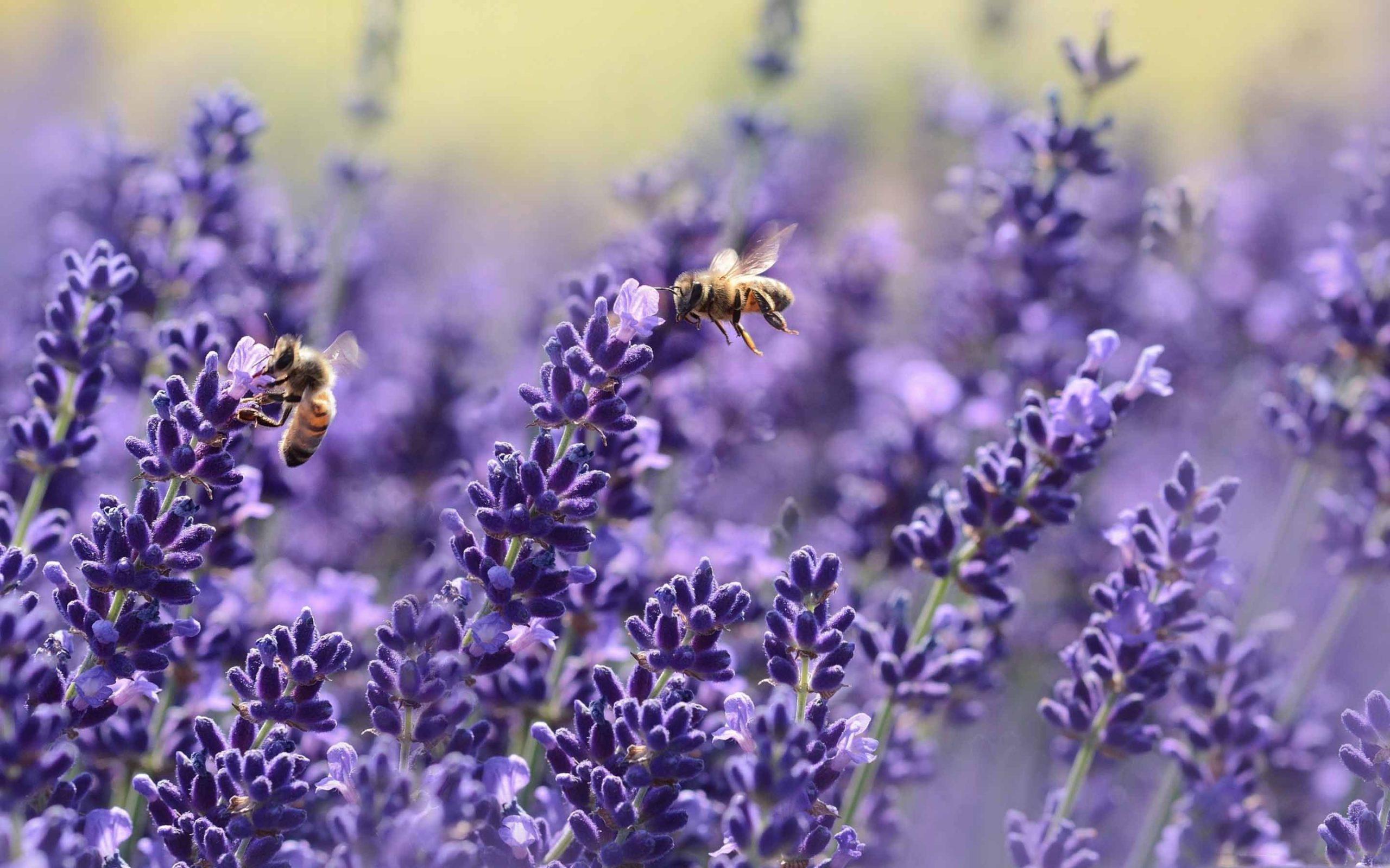 honey bee images free