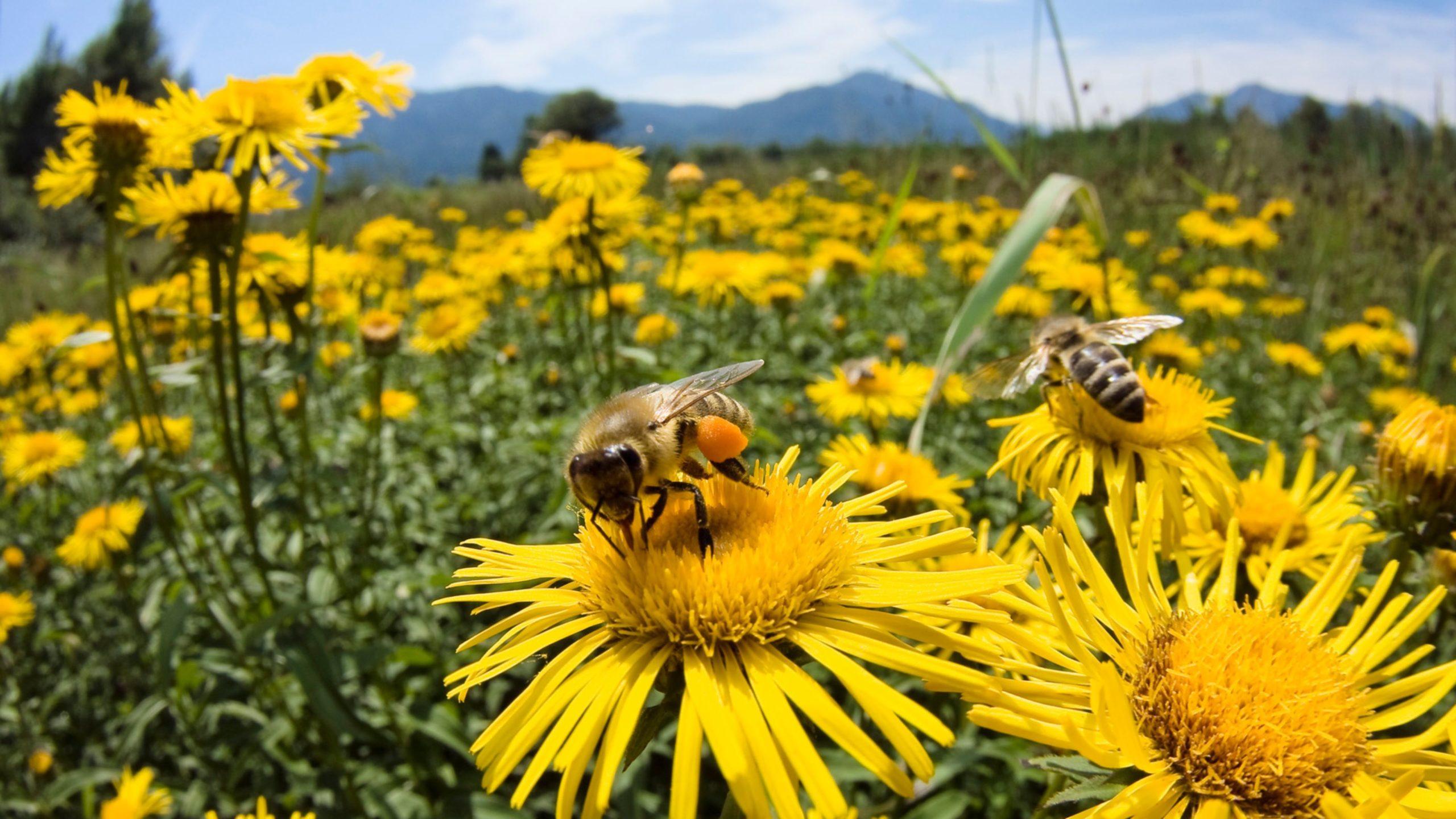 pics of honey bees