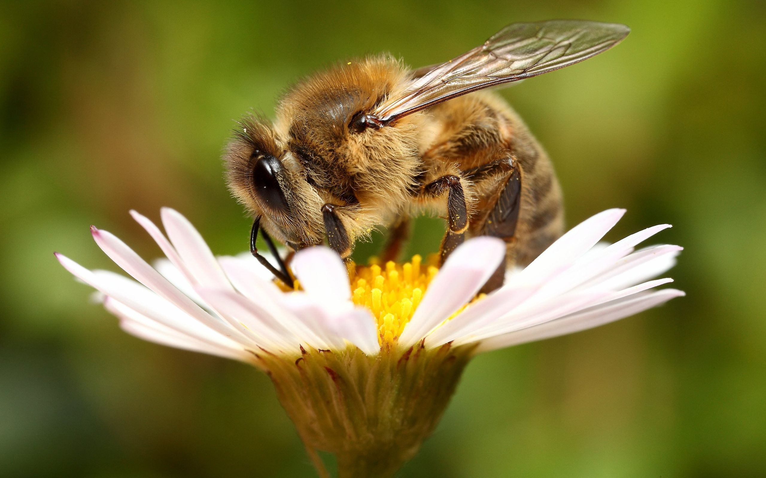 honey bees pictures