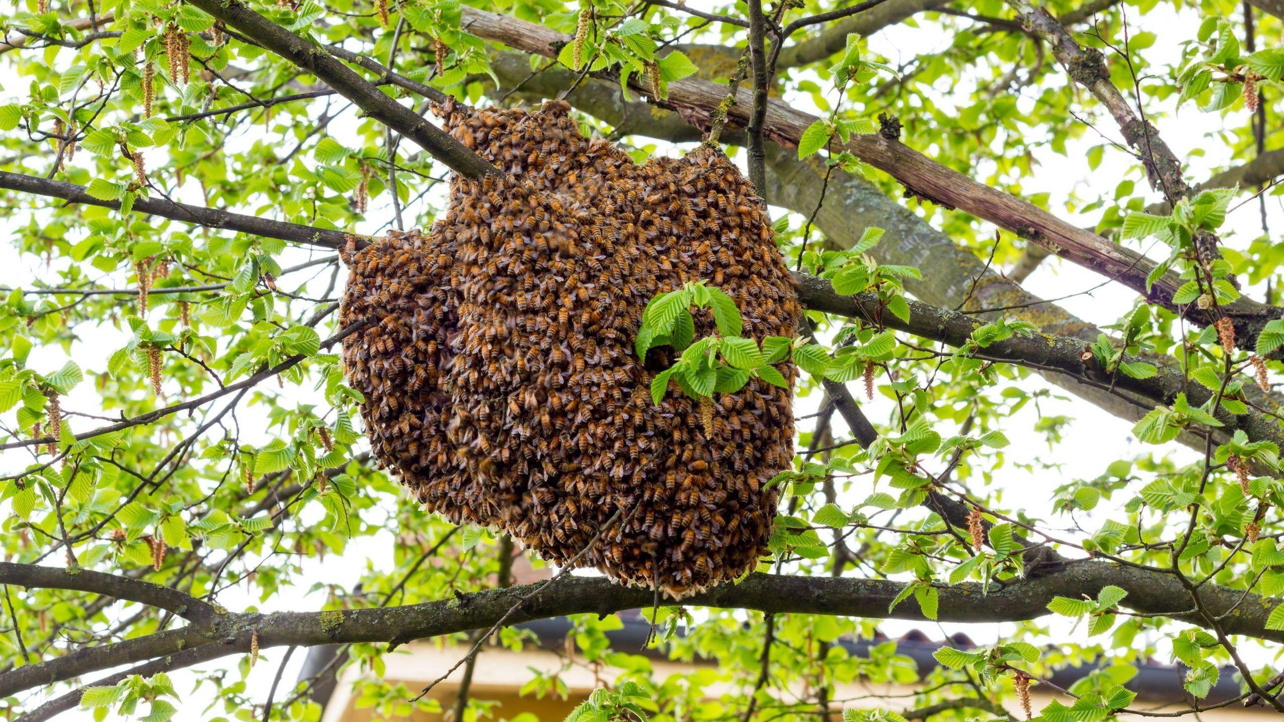 pictures of honeybees