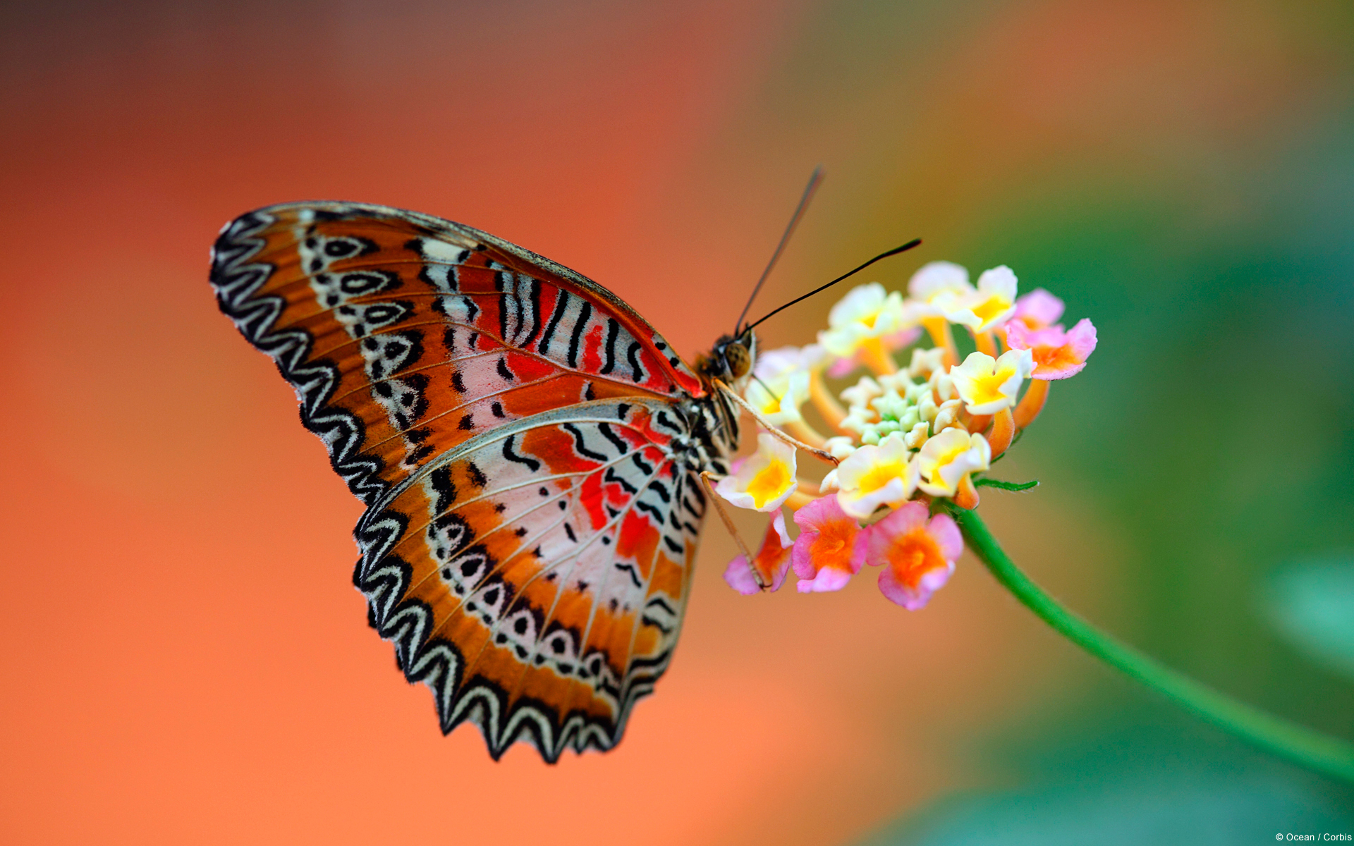 butterfly wallpaper download