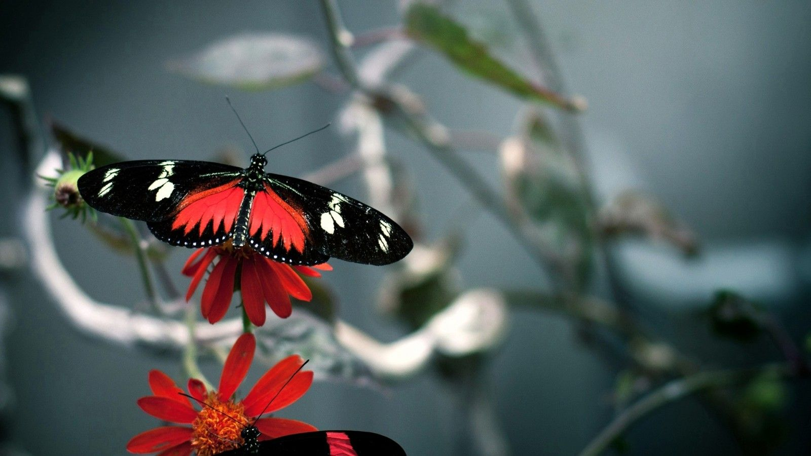 butterfly pictures wallpapers 4k