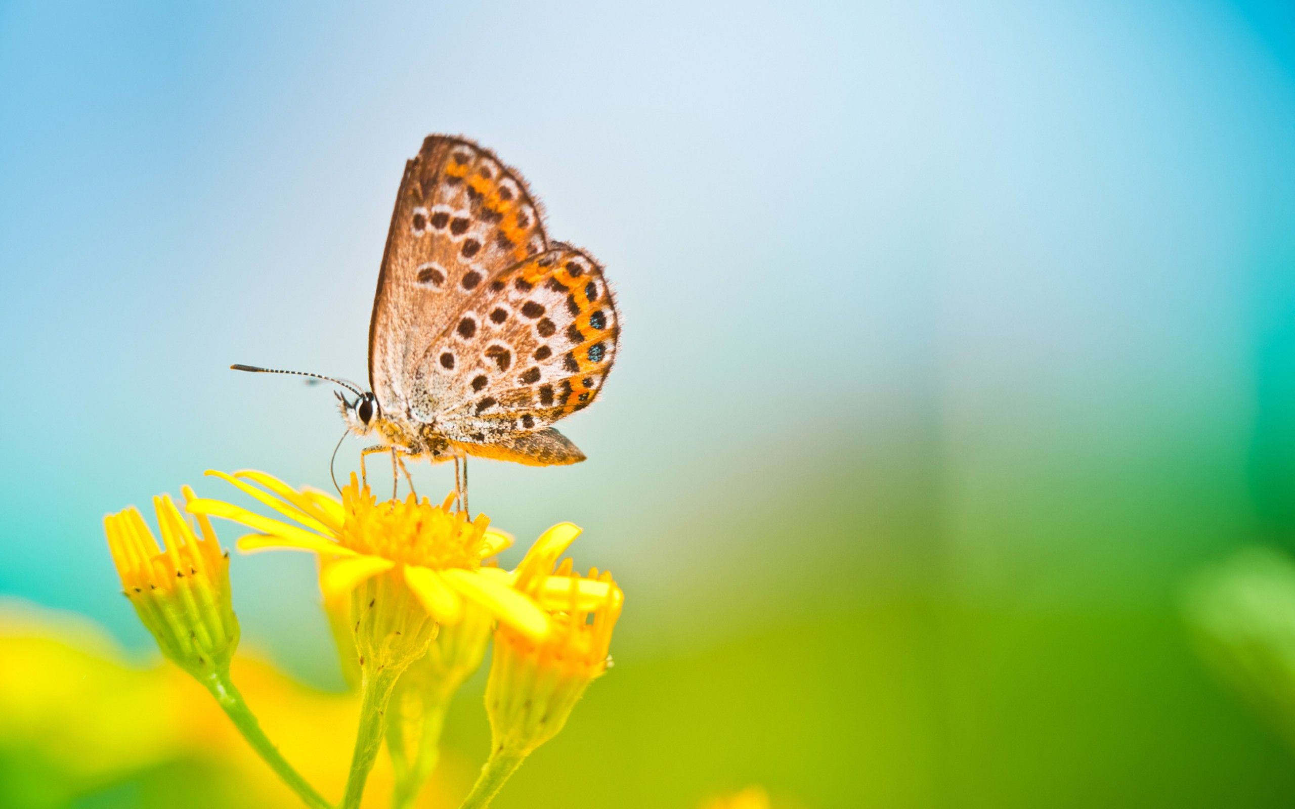wallpapers of butterfly free download