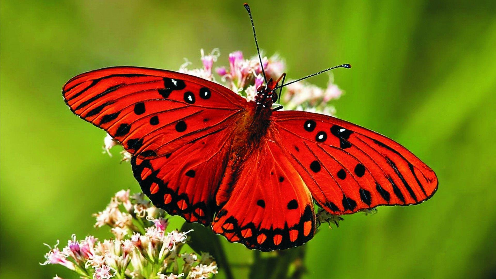 butterfly wallpaper for laptop
