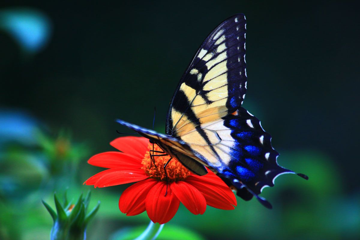 butterfly wallpaper for iphone