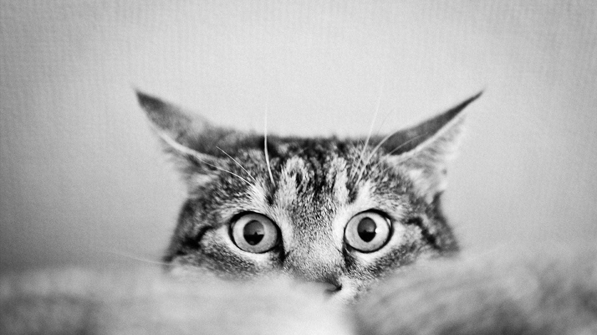 cats desktops wallpapers hd