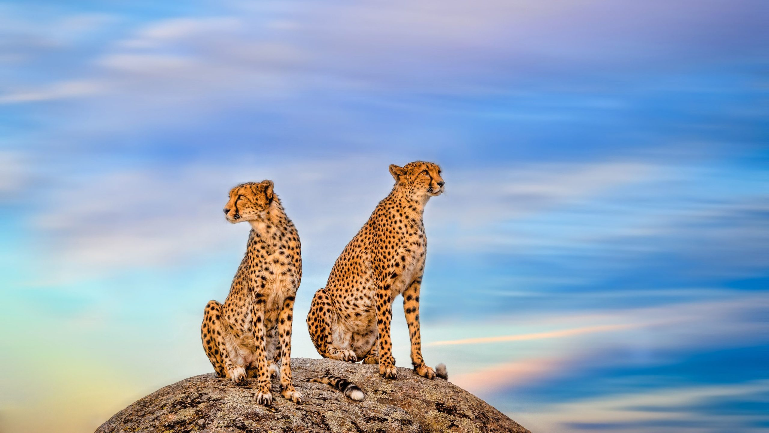 pitures of cheetahs