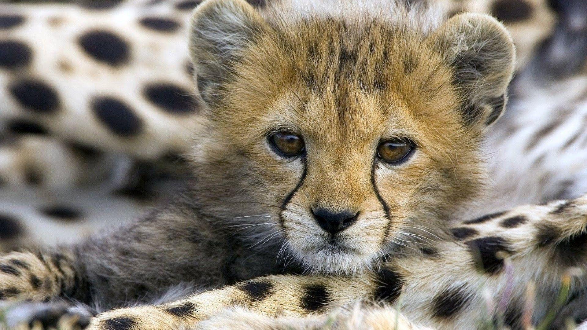 photos of cheeta