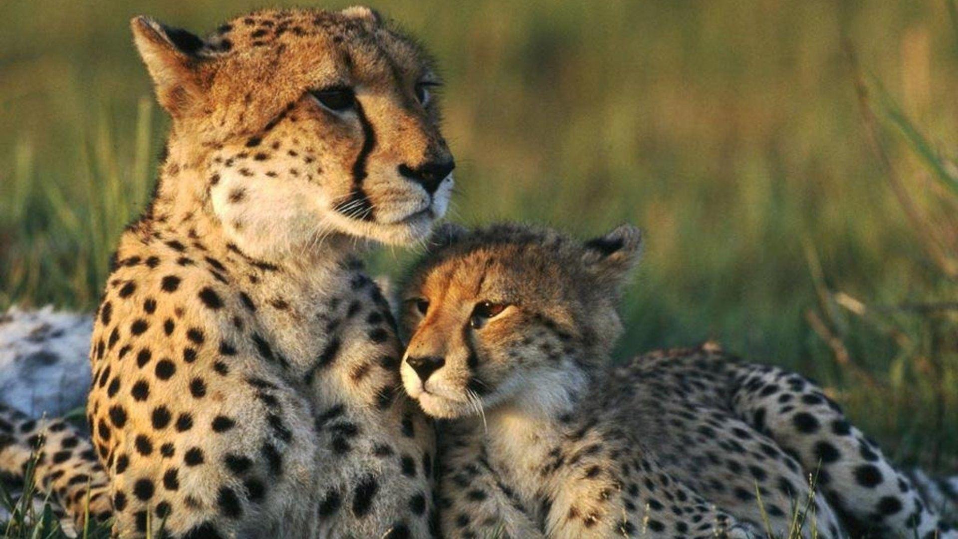 cheetah pics