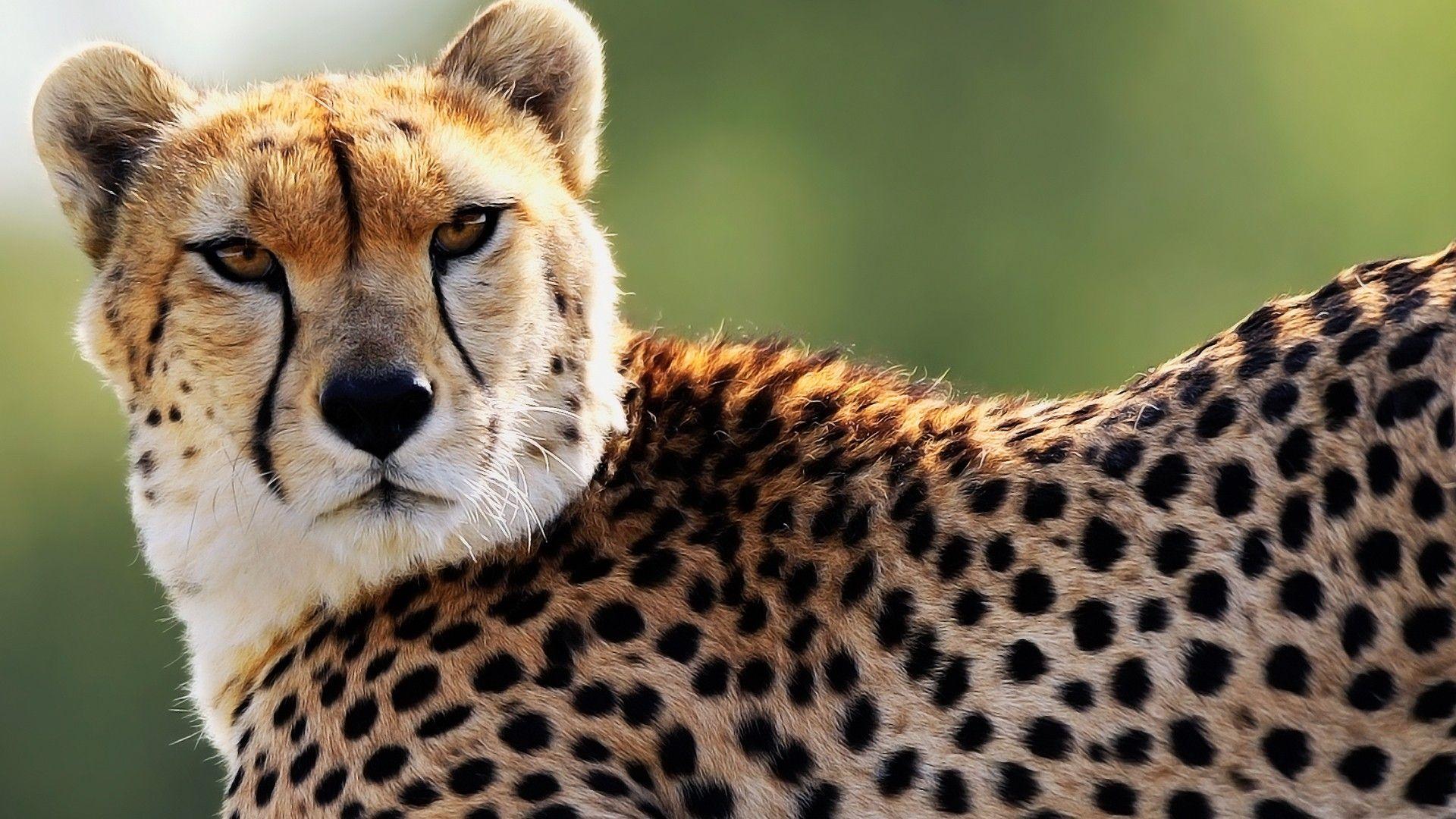 cheetah photography