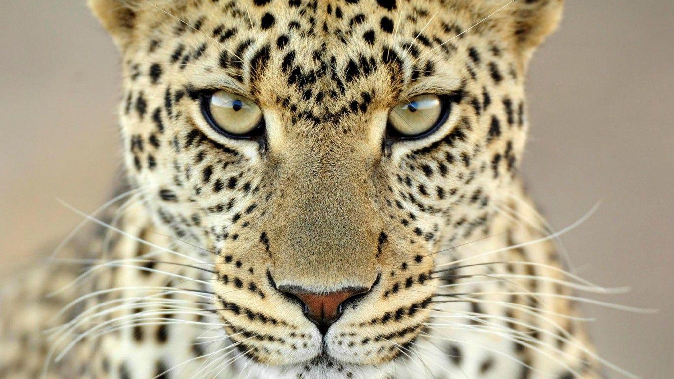 cheetahs images 4k