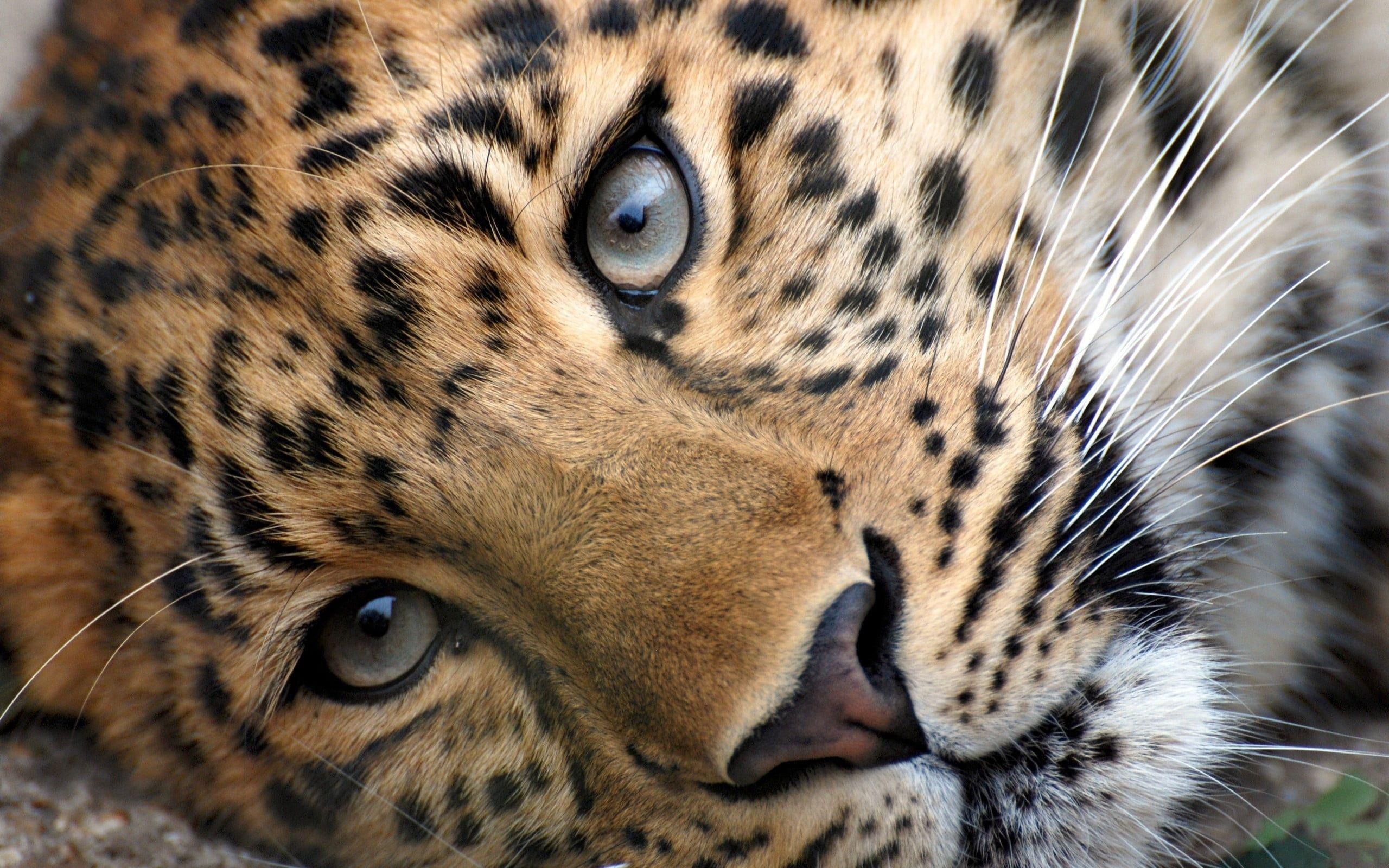 hd cheetah wallpapers