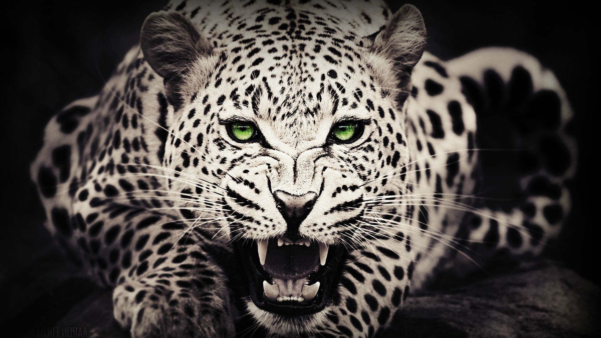 cheetah backgrounds wallpapers