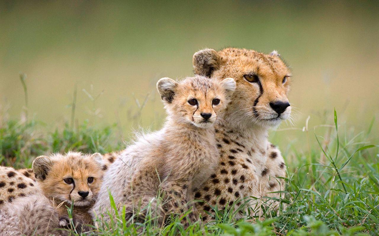 cheetah download wallpapers