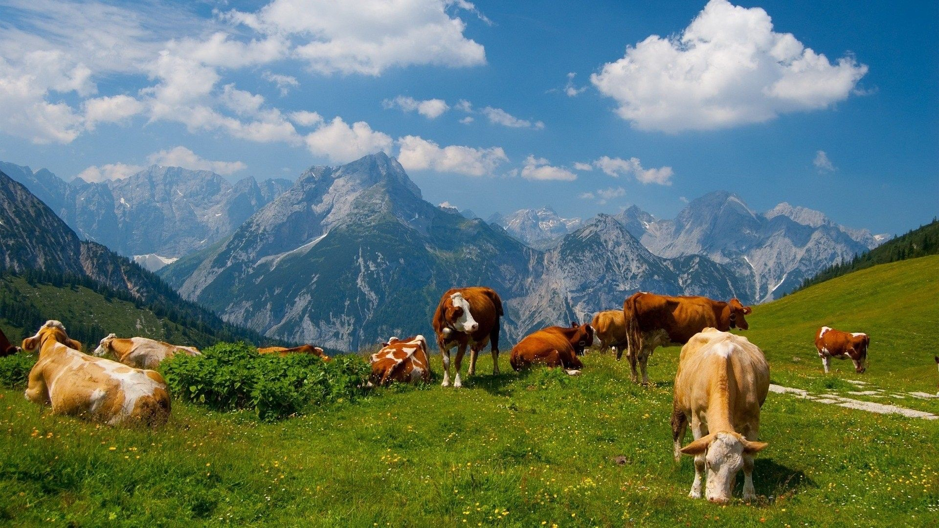 pictures of cows