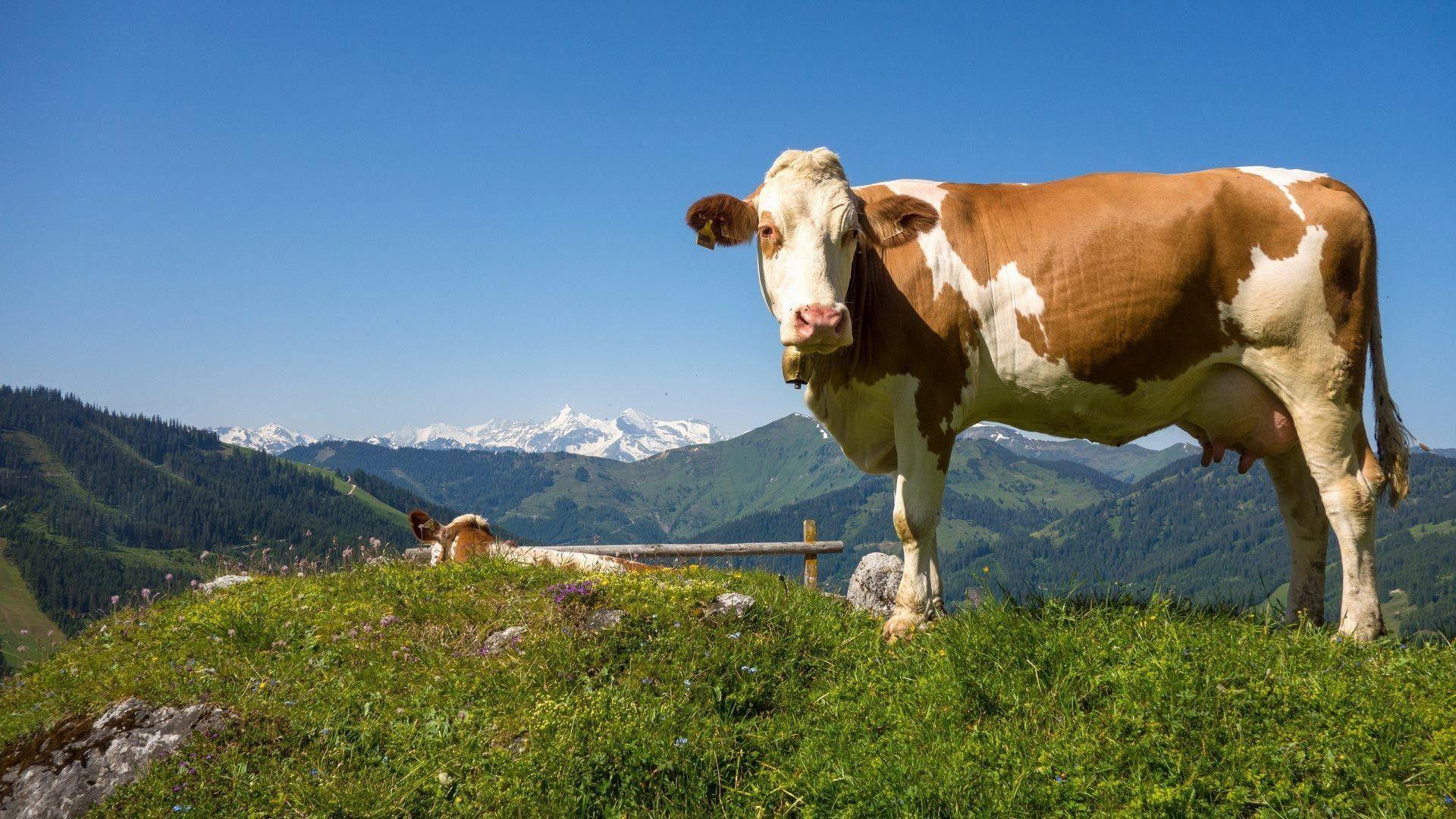 photos of cow