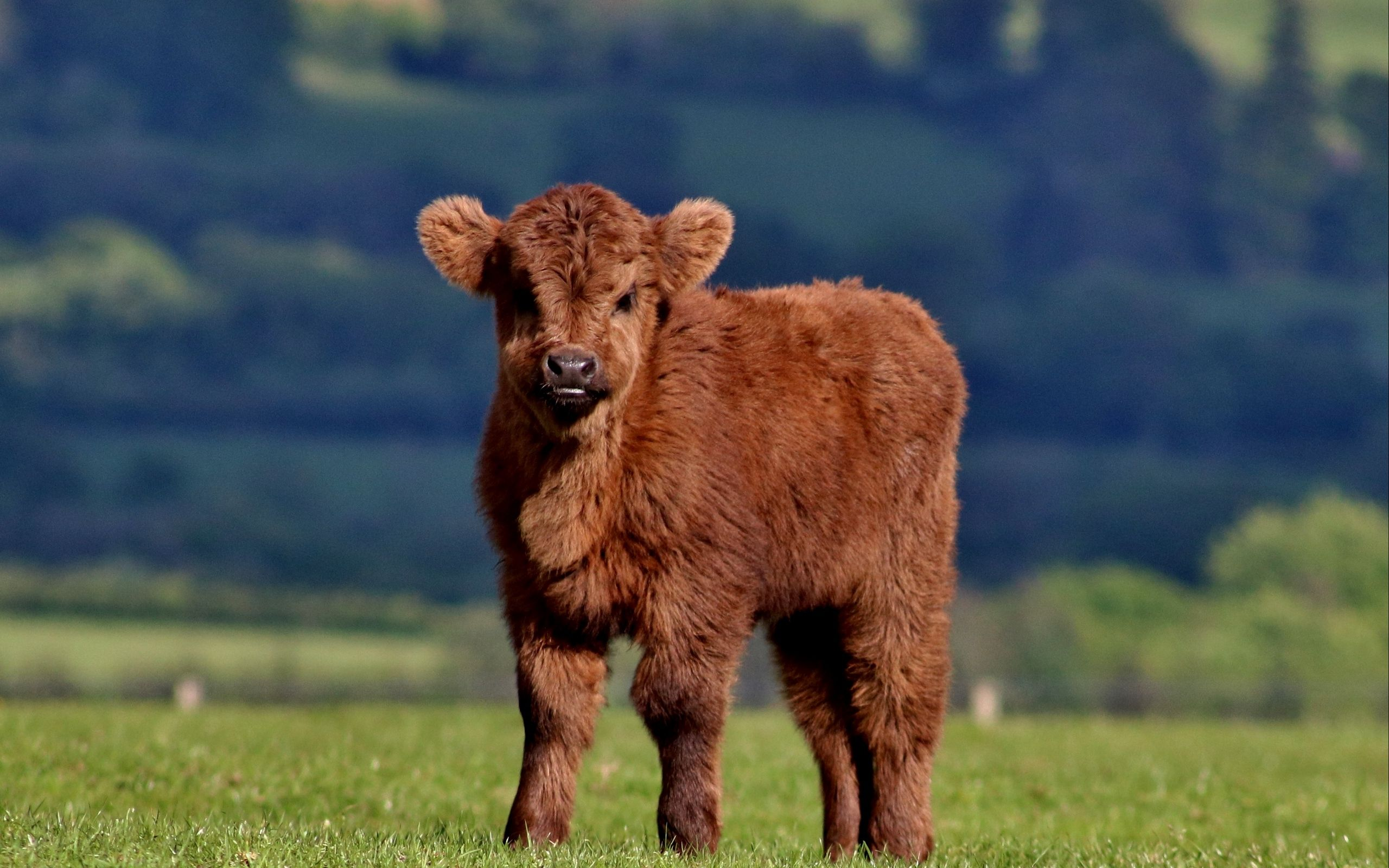free cow pictures