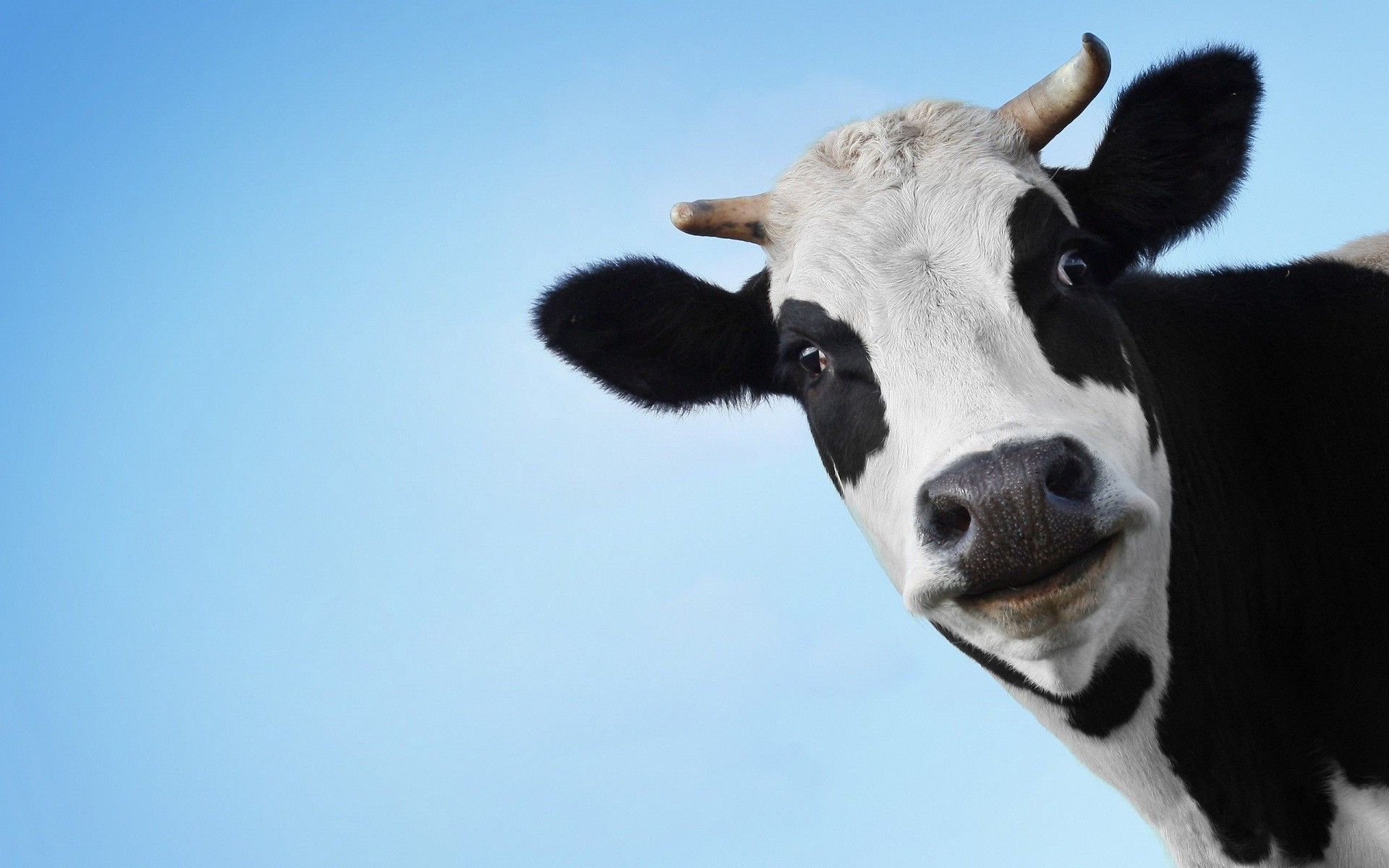 cows screensavers
