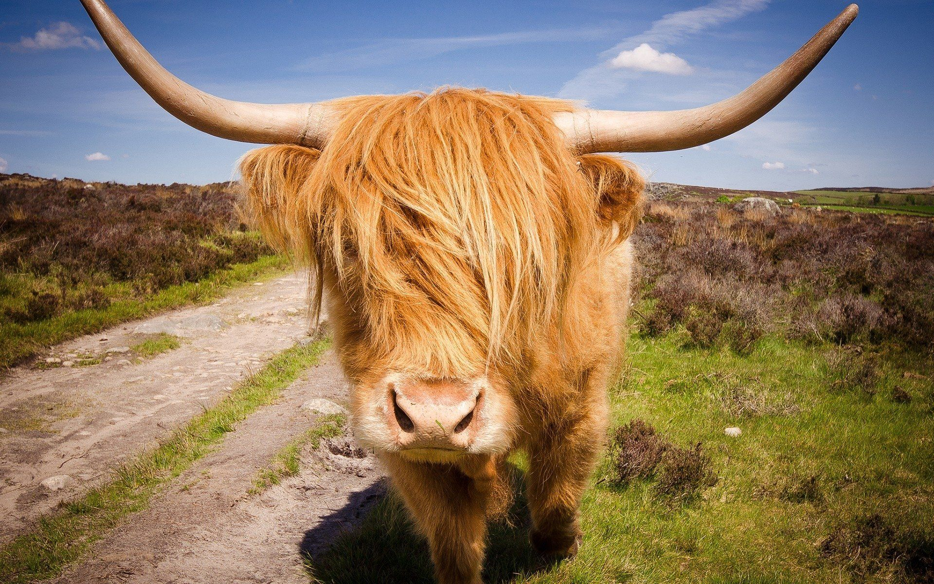cow images free