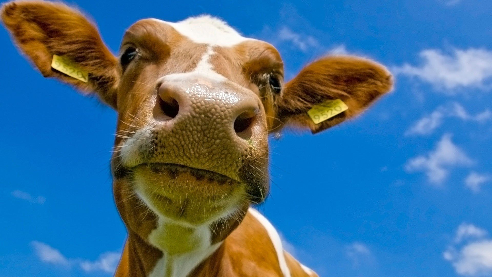 a picture of a cow