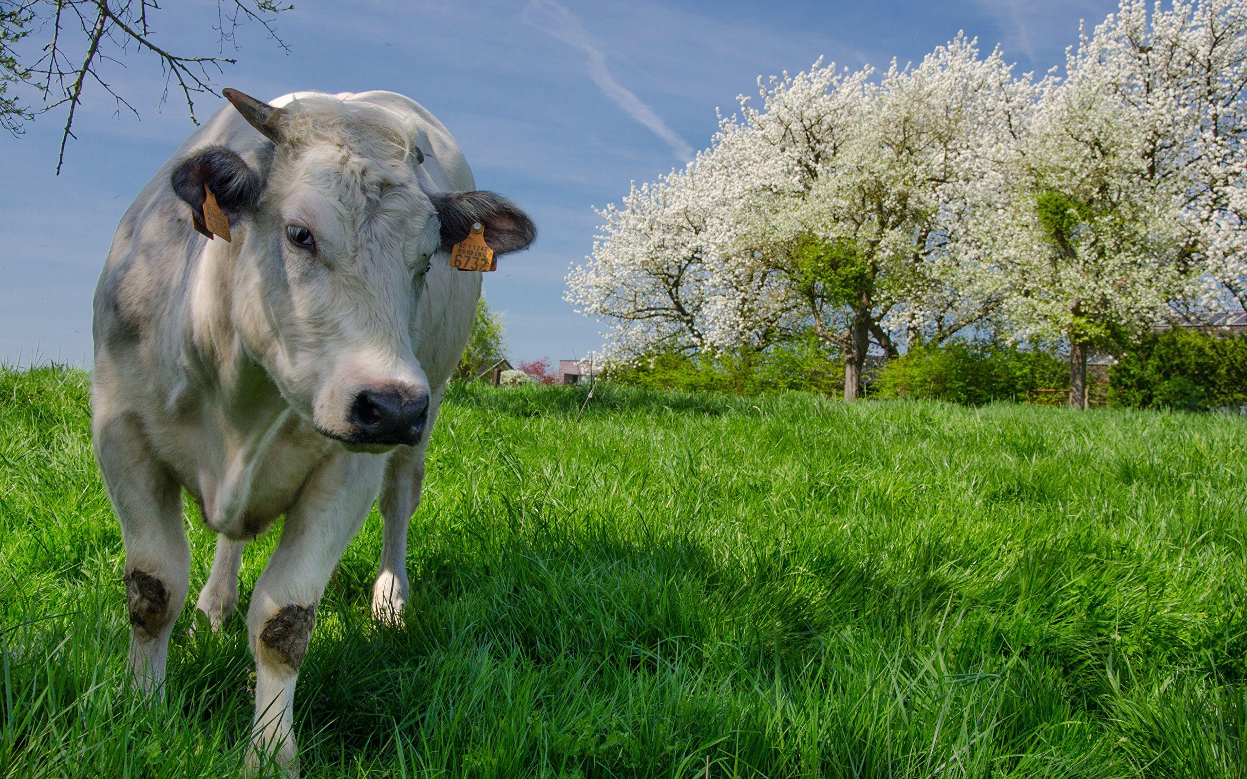 photos of cows