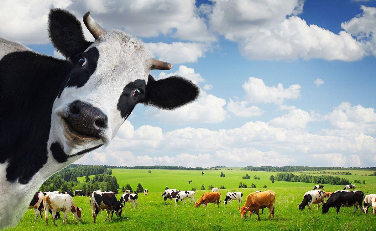 cow screen savers