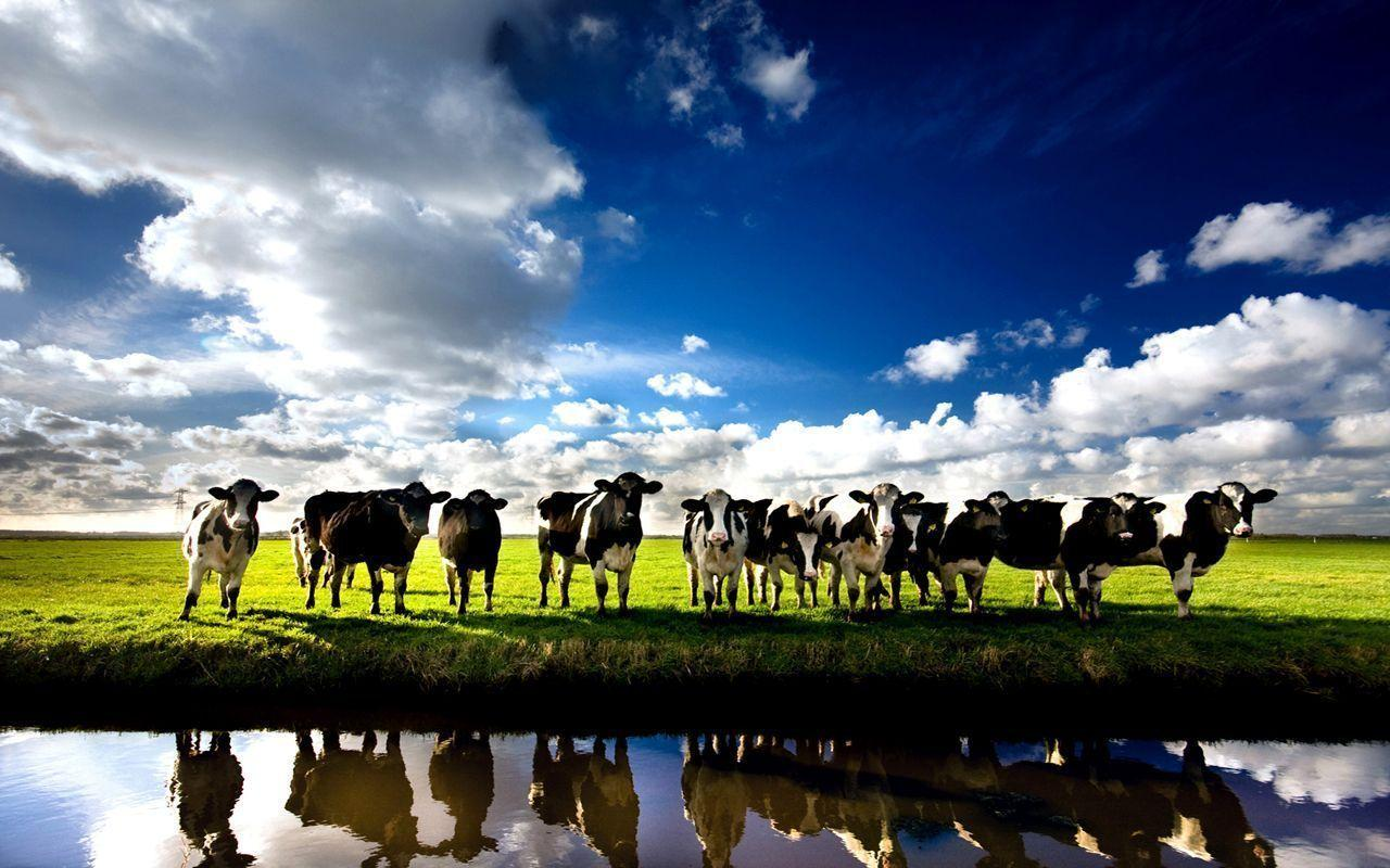 free cow images