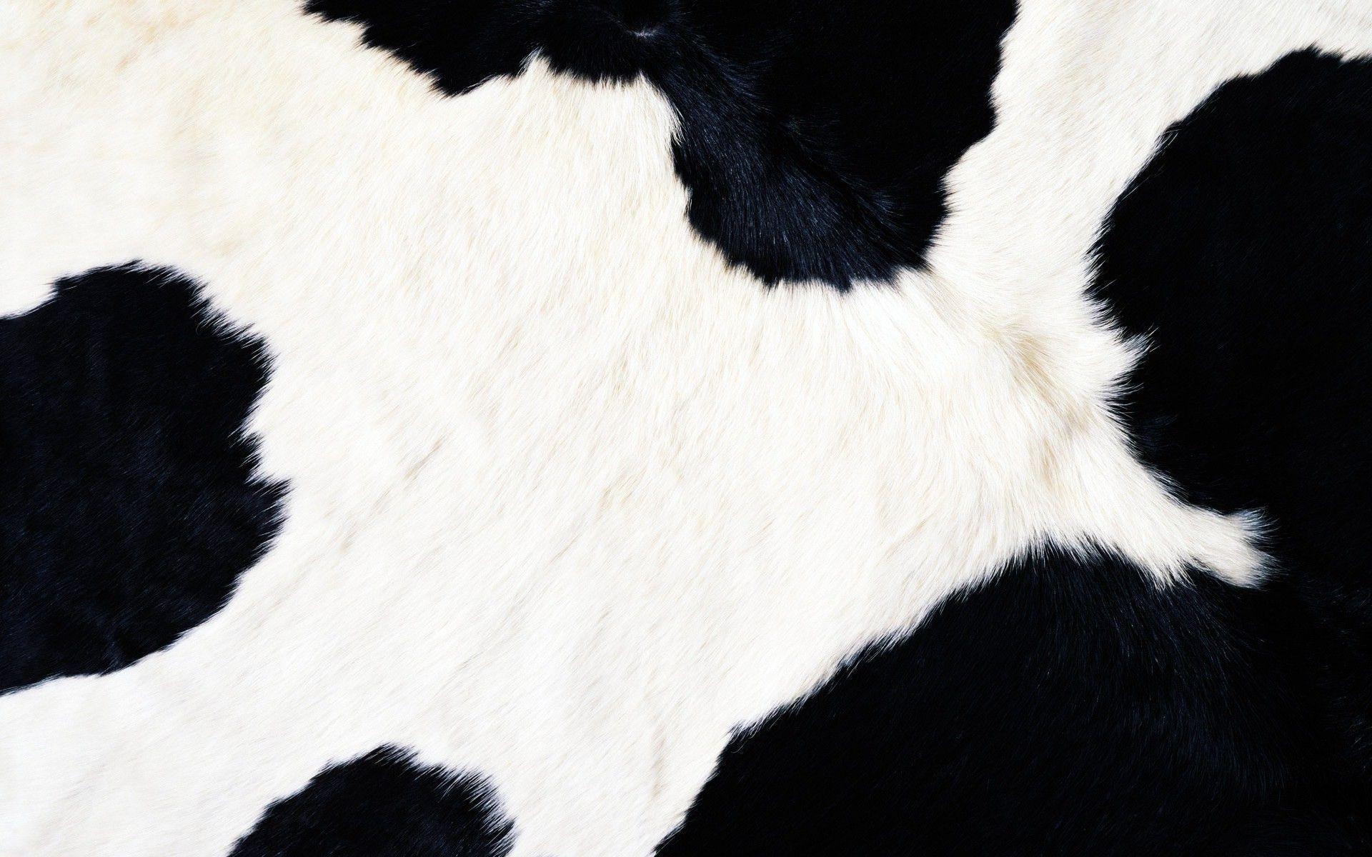 cattle photographs