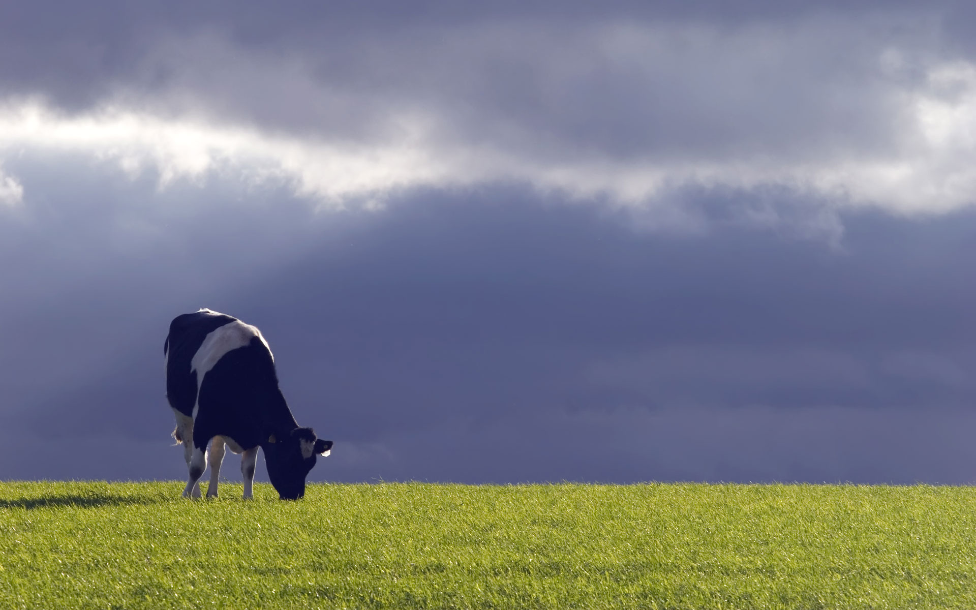 dairy cow pictures