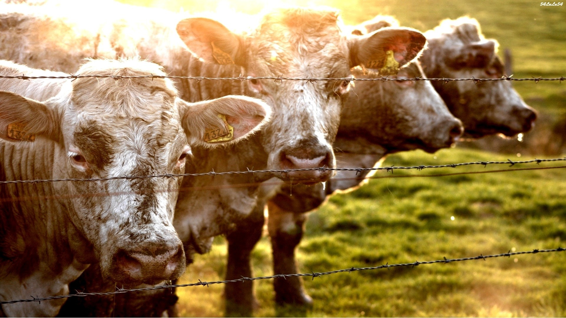 images of a cow