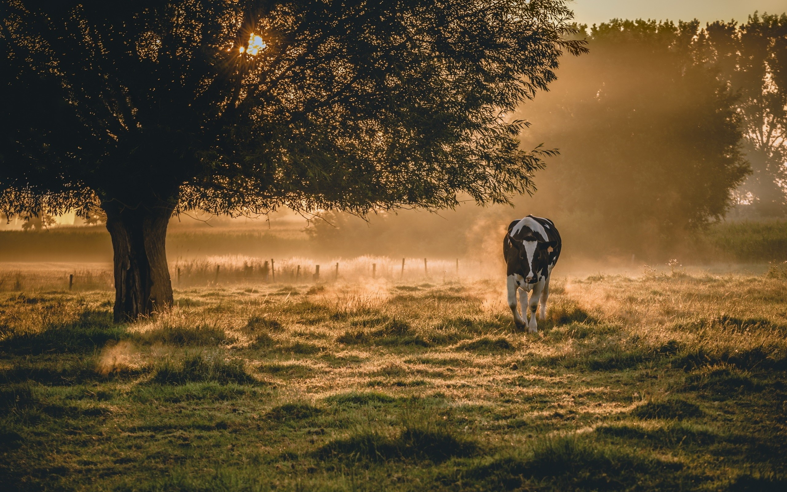 cow pictures free download