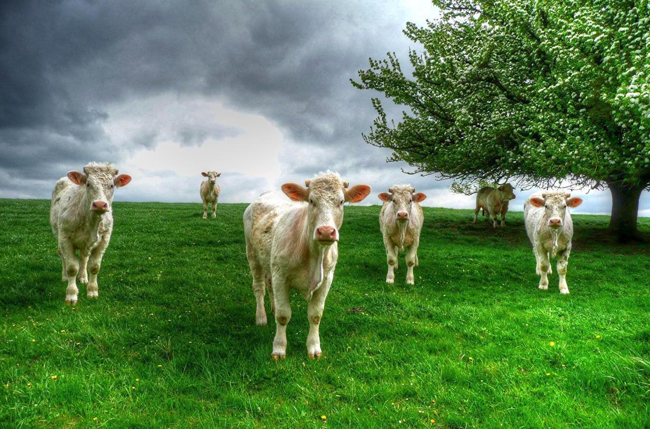 cow desktop backgrounds