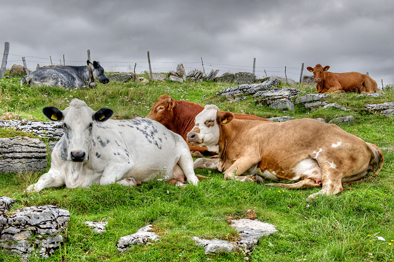 cow images free download