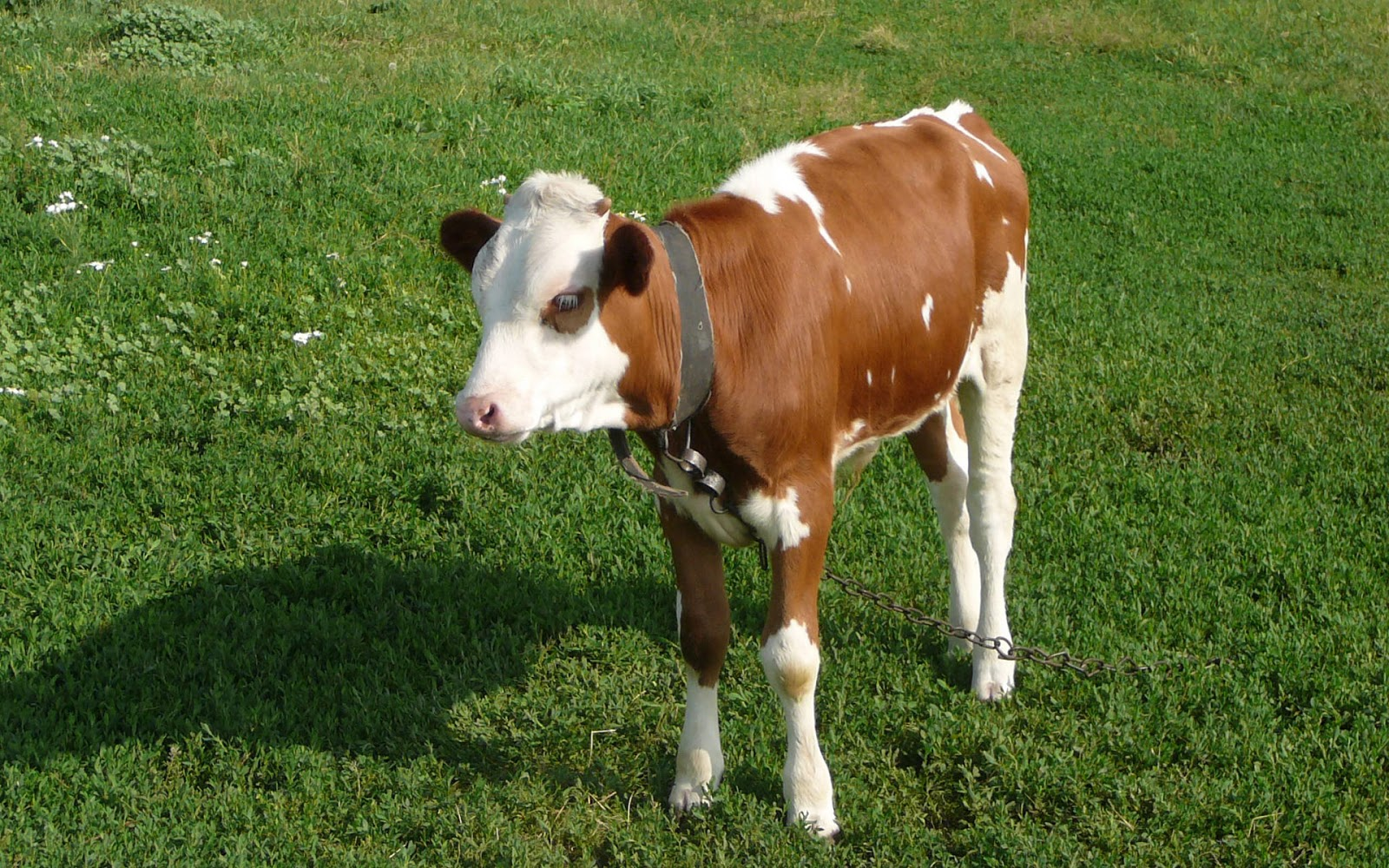 printable cow pictures